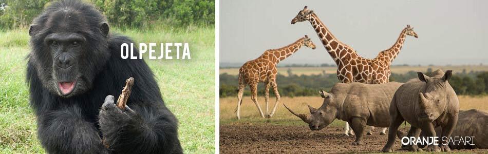 Olpejeta Safari