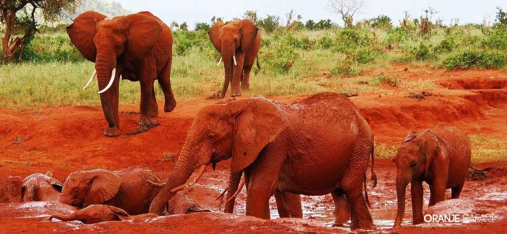 red elephant elephants tsavo kenya